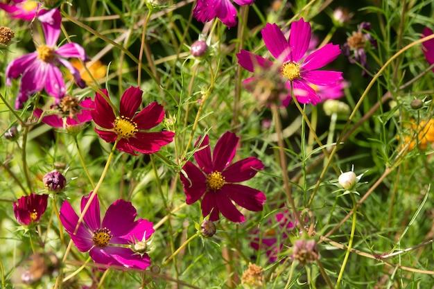 フィールドの日の出にコスモスの花の顔