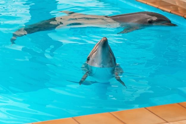 澄んだ青い海の中のイルカのカップル
