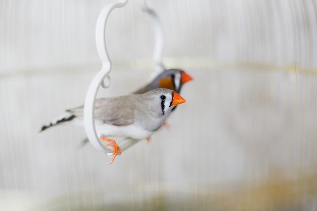 檻の中の灰色と白のキンカチョウの鳥のカップル