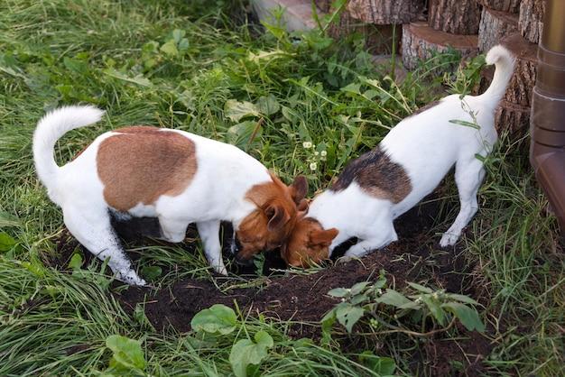 屋外の裏庭に犬の穴を掘るジャックラッセルテリアのカップル。公園で野外で遊ぶ犬