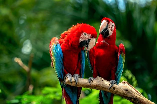 深い野生のコンゴウインコの鳥のカップル