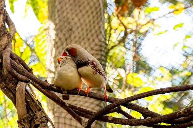 Пара маленьких зябликов на ветке в птичнике