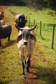 晴れた日の牧場の牛。農業。