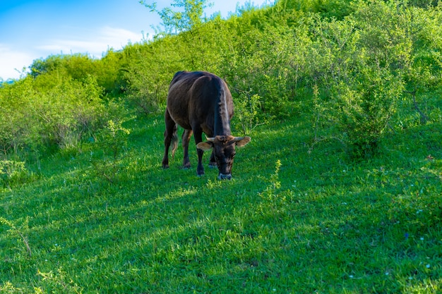 牛が草を食べて緑の草を食べる