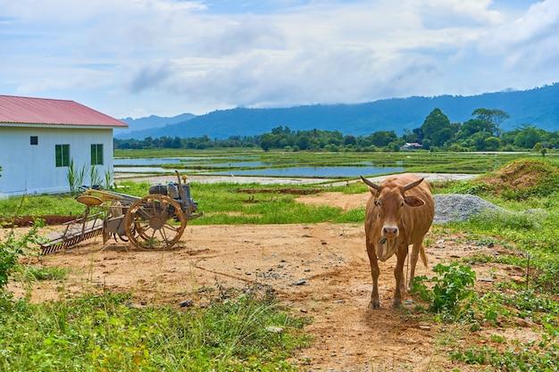 Корова пасется на небольшой частной придорожной ферме в азиатской деревне на тропическом острове.