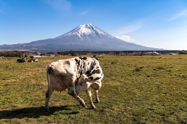 山のある緑の野原にいる牛、野原でなめる牛