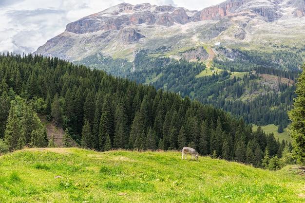 イタリアのドロミテの高山の牧草地で牛がかじります。