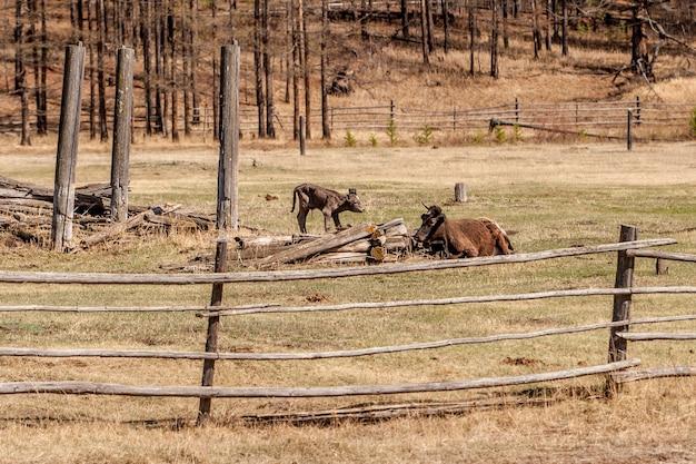 Корова с теленком на поле за деревянным забором отдыхает