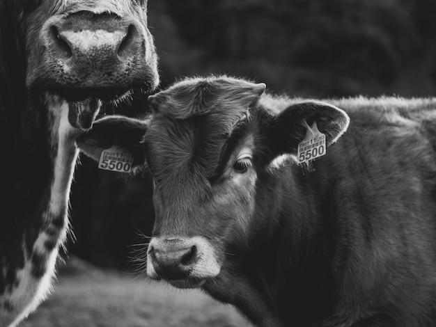 Корова с сыном в поле