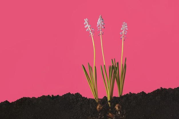 地面から生えている青いマスカリのクリエイティブな写真。断面の土地。春の鮮やかな写真
