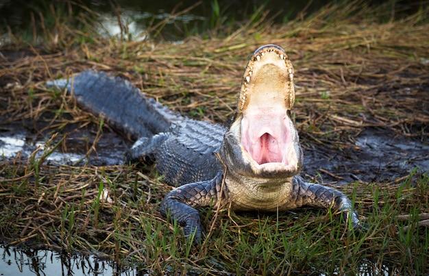 Крокодил открывает пасть, крокодил в траве открывает всю пасть