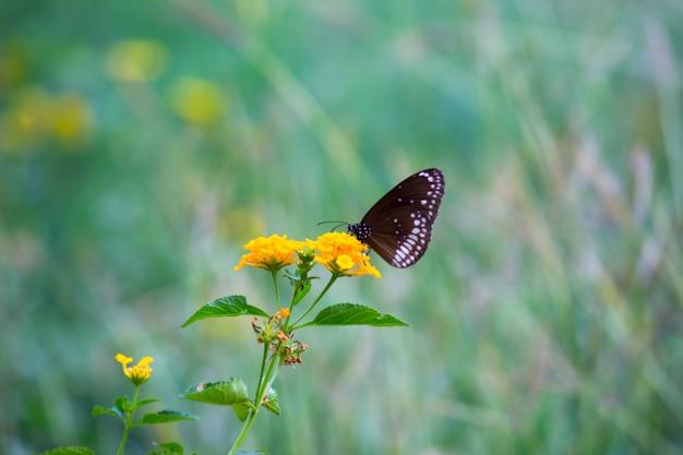 素敵な柔らかい自然の緑の背景で花の植物の上に休んでいるカラスの蝶