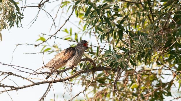 カッコウのひよこは、くちばしを開いた状態で木の枝に座っています。カッコウ。