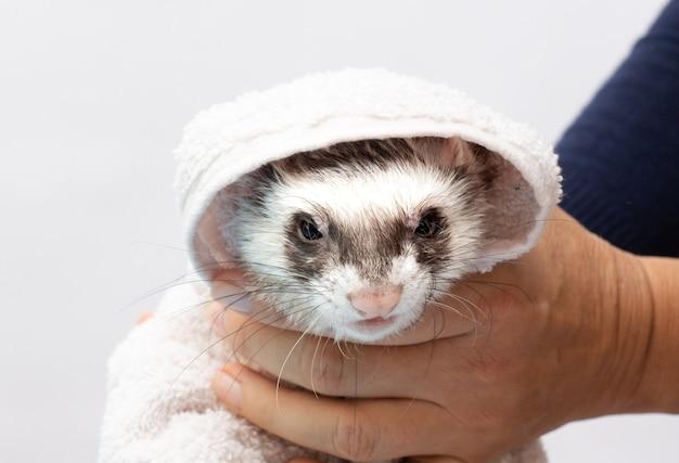 목욕 후 주변을 둘러보는 호기심 많은 흰 족제비