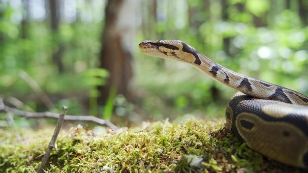웅크리고 있는 보아뱀이 머리를 들고 땅에 누워 있습니다. 숲에서 뱀. 클로즈업, 흐린 배경, 4k uhd.