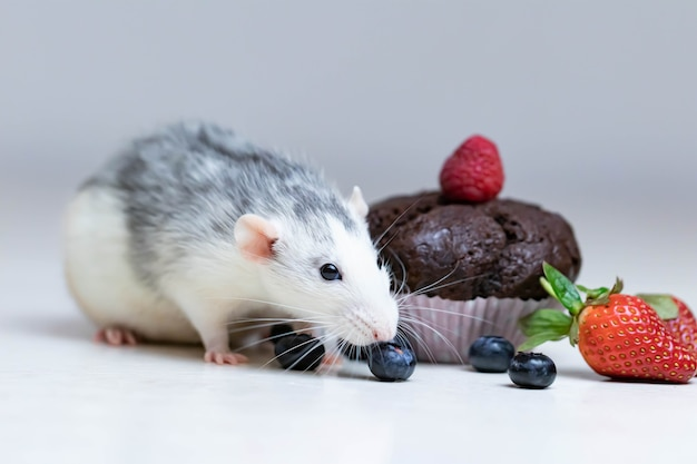 Милая и забавная декоративная белая серая крыса принюхивается и хочет съесть вкусный запеченный кекс или маффин.