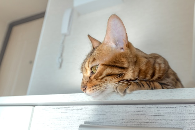 귀여운 벵골 고양이가 방의 옷장에서 쉬고 있습니다.