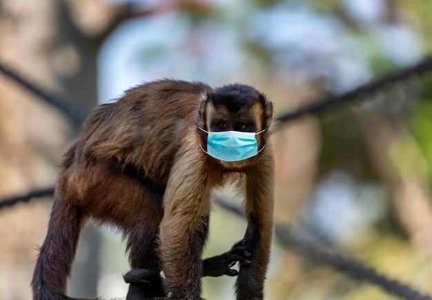 귀여운 카푸친 원숭이가 나뭇가지에 앉아 가면을 쓰고 있습니다. 재미 있는 작은 원숭이 옆으로 보인다. 코로나바이러스 검역 또는 covid-19의 개념. 바이러스 및 감염 통제 개념에 대한 보호
