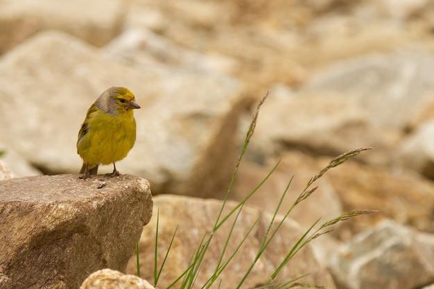 石の上のかわいいヒワの鳥