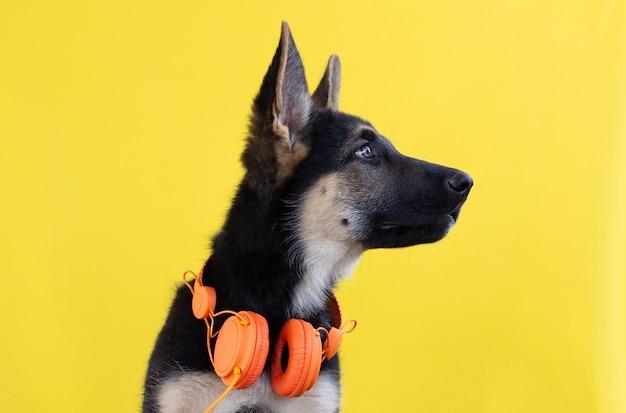 黄色の背景で隔離のヘッドフォンでかわいいジャーマンシェパードの子犬