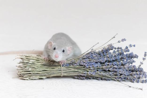 귀여운 회색 장식용 쥐가 마른 라벤더 꽃다발 옆에 앉아 있습니다. 아로마 테라피. 설치류 클로즈업.