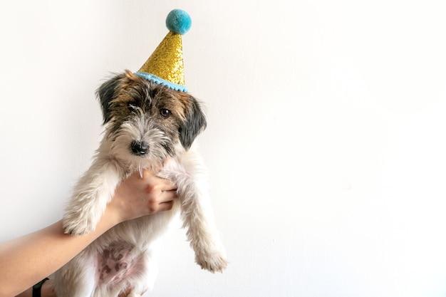 かわいいジャックラッセルテリアの壊れた子犬は、白い背景の上のお祝いの帽子をかぶっています。