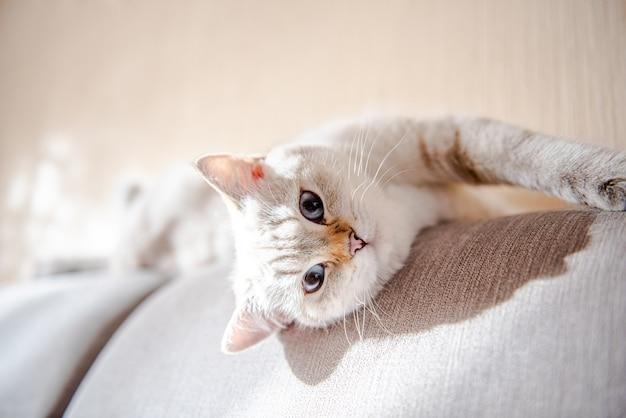 파란 눈을 가진 귀여운 밝은 회색 영국 고양이가 회색 소파에 누워 있습니다