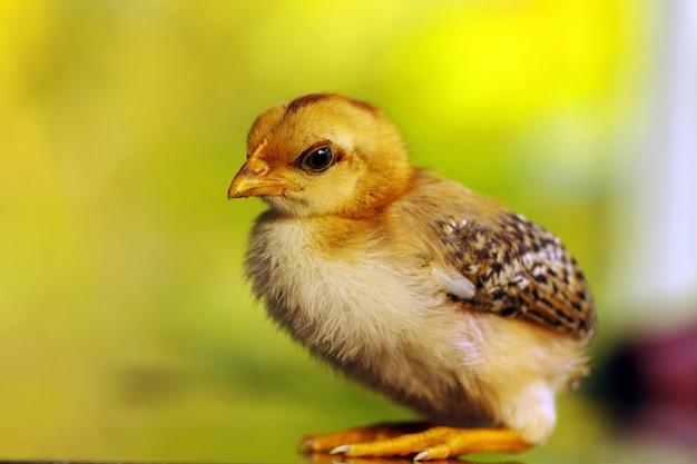 Милый маленький цыпленок в мелком фокусе с размытым фоном