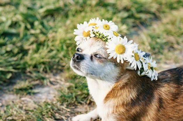 그녀의 머리에 카모마일의 화 환을 가진 귀여운 작은 강아지 치와와 닫힌 된 눈을 가진 초원에서 햇볕에 앉아있다. 태양을 즐기는 강아지. 개를 놀리는