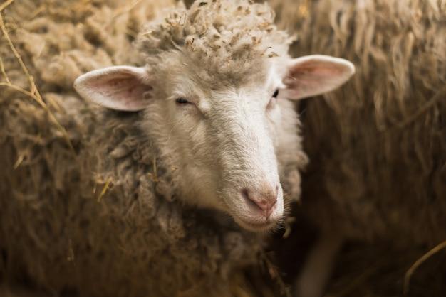 Милый маленький ягненок смотрит в камеру. овца с большим количеством шерсти смотрит в камеру на униформе