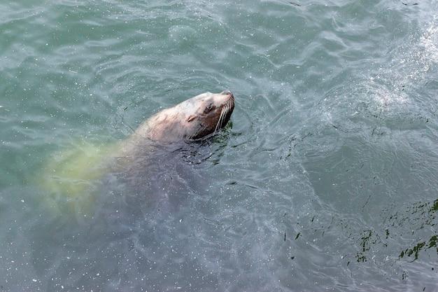 귀여운 콧수염 바다사자는 페트로파블롭스크 캄차츠키 시의 더러운 물에서 수영합니다