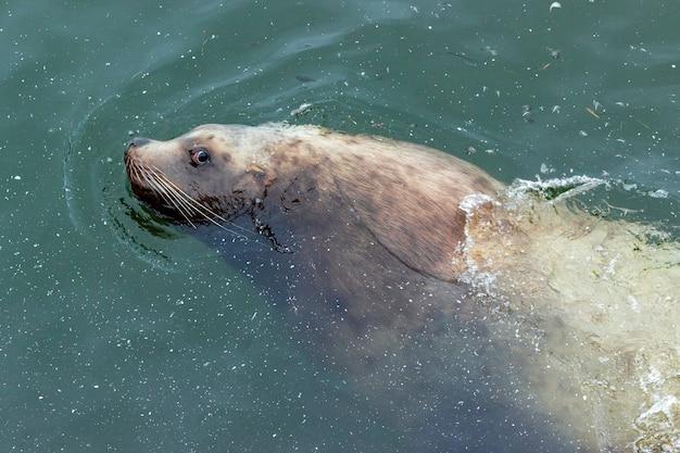 귀여운 콧수염 바다사자가 mokhovaya bay의 더러운 물에서 헤엄치고 있습니다.