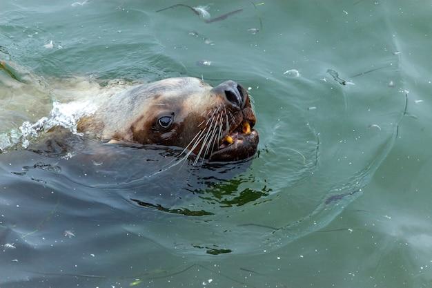 더러운 물에서 헤엄치는 귀여운 콧수염 바다사자