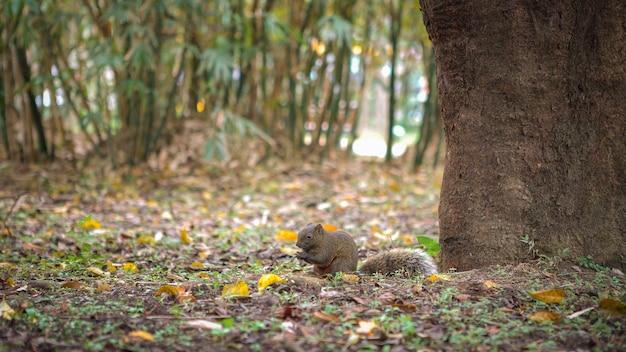 かわいいクリハラリスが台北の大安公園の森の床で食べ物を食べています