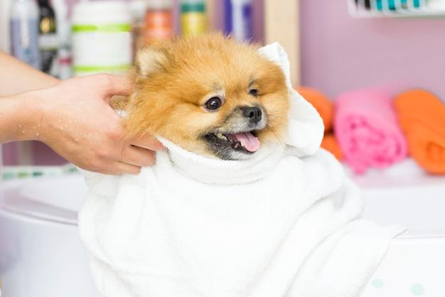 Симпатичный шпиц сидит после купания в белом полотенце. уход