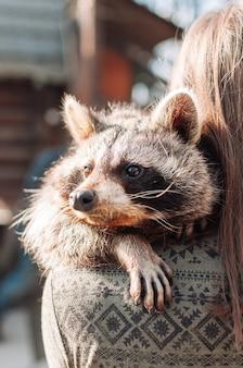 귀여운 너구리가 소녀의 어깨에 놓여 있습니다. 동물은 긴장을 풀고 먼 곳을 바라봅니다. 푹신한 너구리 수컷. 동물원에서 길들여진 포유동물. 선택적 초점