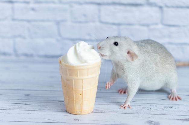 Милая крыса сидит рядом с вафельной чашкой с белым мороженым. грызун нюхает десерт. крупным планом портрет животных. макро.