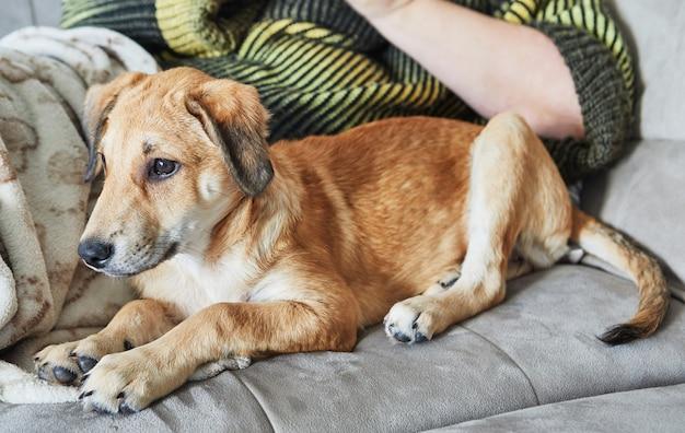 飼い主の隣のソファに耳がぶら下がっているかわいい赤毛の犬が座っています