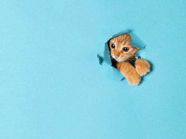 귀여운 빨간 고양이 한 마리가 종이 구멍을 통해 들여다보고 있습니다. 장난스럽고 재미있는 애완동물, 광고, 포스터, 판매, 수의학 클리닉을 위해 비어 있습니다.
