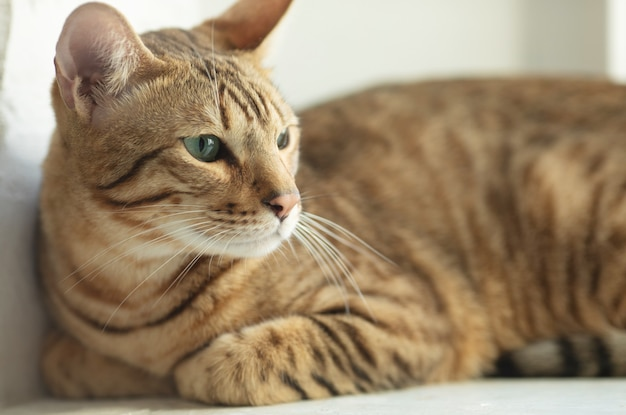 かわいいセレンゲティ猫が窓辺に横たわっている