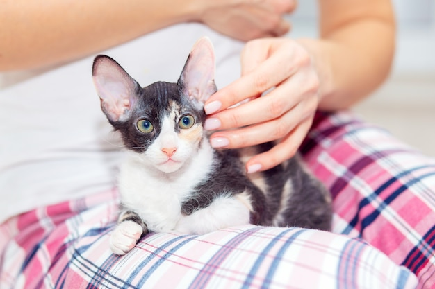 大きな耳を持つかわいいトリコロールのスフィンクスの子猫が飼い主の膝の上に座っています。