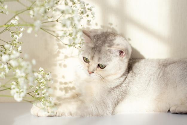 Симпатичный бело-серый британский кот зелеными глазами лежит на белом столе с цветком гипсофилы