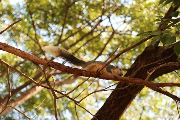 귀여운 흰색과 회색 다람쥐가 공공 공원에서 나무에 등반하고 있습니다.