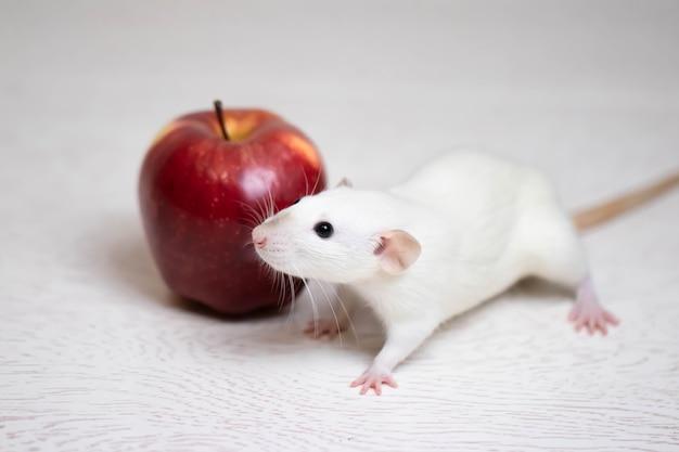 Милая белая декоративная крыса сидит рядом с сочным и спелым красным яблоком. грызун крупным планом.