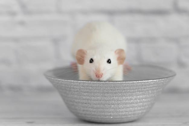 かわいい白い装飾的なネズミは灰色の皿の上に座っています。白い背景の上の齧歯動物のクローズアップの肖像画。