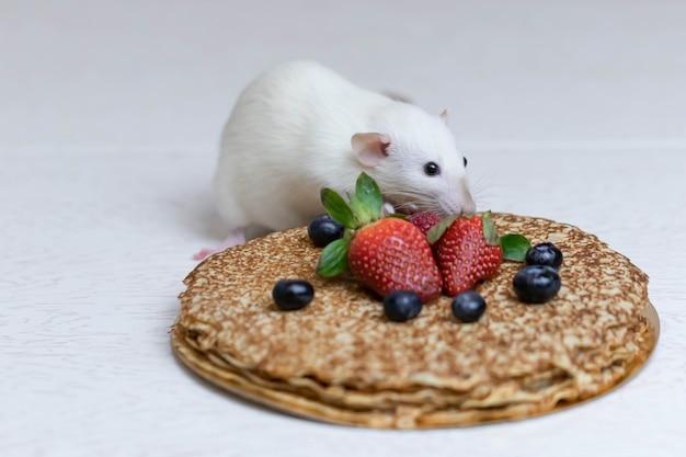 Милая белая декоративная крыса сидит на вкусных блинчиках с клубникой и черникой.