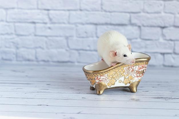 귀여운 흰색 장식용 쥐가 목욕을합니다. 청결과 위생.