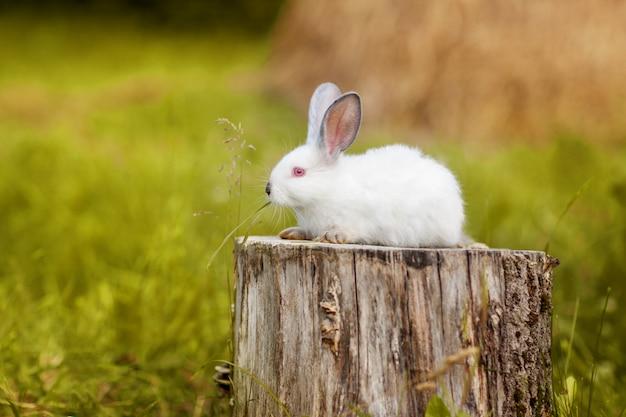 かわいい白いイースターのウサギは牧草地の切り株に座っています。