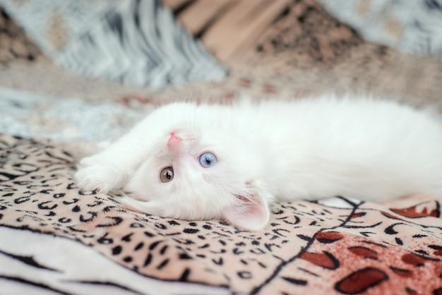 色とりどりの目を持つかわいい白いふわふわの子猫