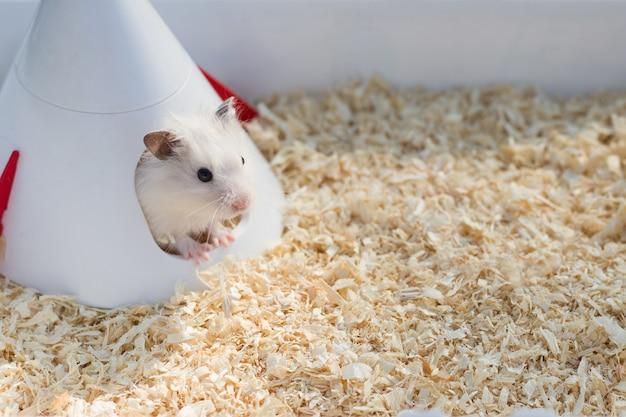 집에 톱밥 사이에 귀여운 흰색 햄스터가 앉아 있습니다. 햄스터, 애완동물, 설치류를 돌보는 개념. 영상.